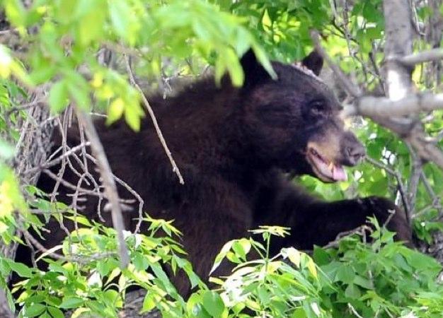 Bear colorado - Google Search-1